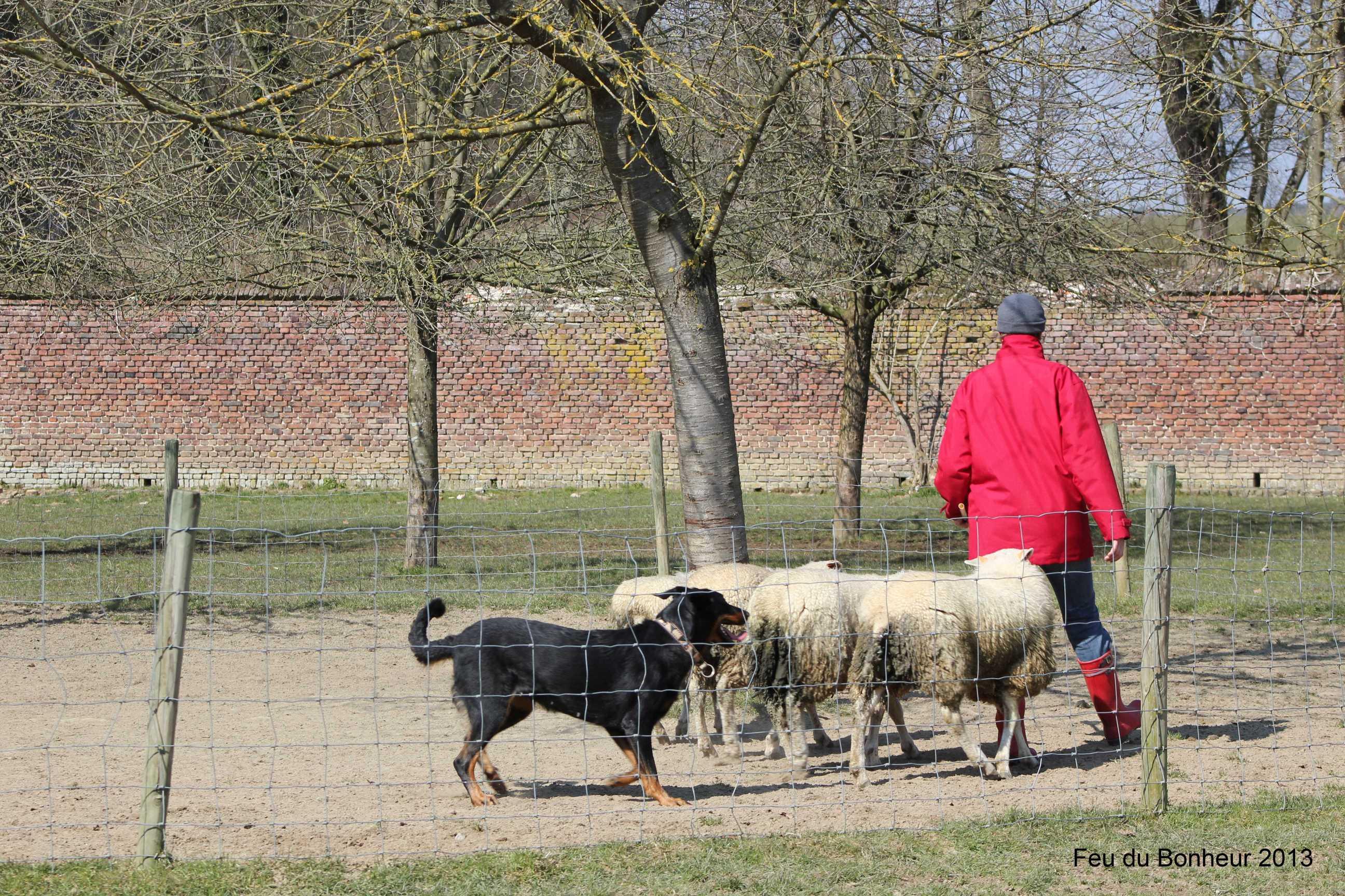 Formation chien de berger